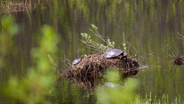 Two species of threatened turltes, Blanding's and Snapping, have been found in the Carp Barrens. Courtesy FCH