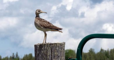 Wednesdays in September head to Almonte to view thousands of migratory water birds. Courteys MVFN