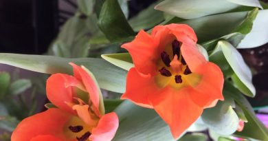Our garden columnist's 75th Anniversary of the Liberation of the Netherlands commemorative tulips are looking great. Courtesy Anne Gadbois