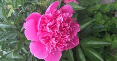 West Carleton Online garden columnist Anne Gadbois' peony. Courtesy Gadbois