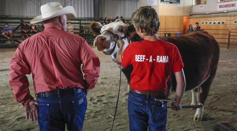 A youth participates in the Carp Fair's beef show.