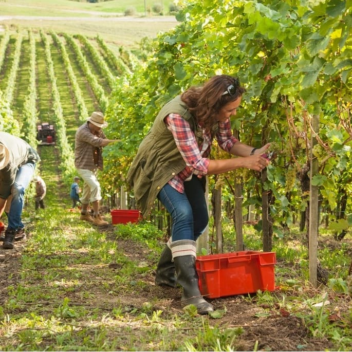 People pick grapes in a vineyard.