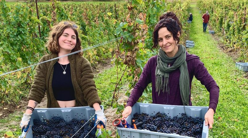 A photo of two volunteers picking grapes.