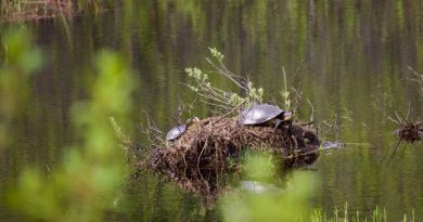 Turtles photographedi n the Carp Barrens. Courtesy the FCH
