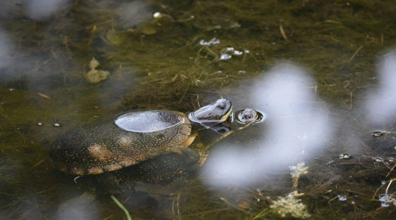 In this photo by biologist Rich Russell, two Blanding's turtles perpetuate the species at a pond near the Crazy Horse Trail. Courtesy the FCH