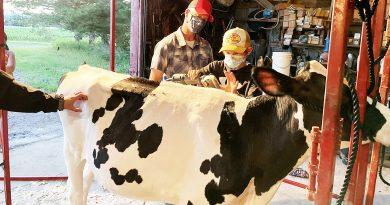 John Potter clips a calf.