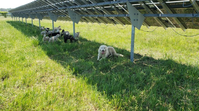 A photo of sheep grazing under solar panels.