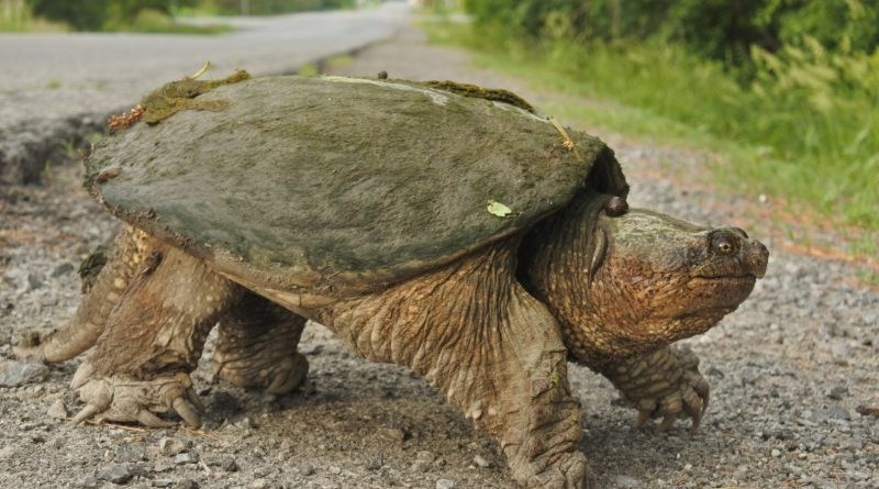 A photo of a large snapping turtle.
