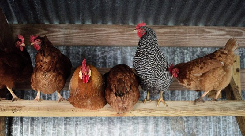 A photo of chickens in a shack.